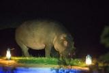 Resident hippo at  the emakoko