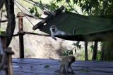 Monkeying about in hammocks, mara plains camp