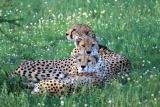 Cheetah resting ol donyo lodge