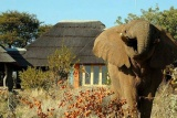 Elephant visitor at Rhulani Safari Lodge, Madikwe