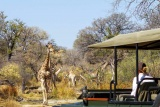 Giraffes on game drive, Camp Moremi