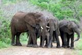 An elephant family at Hluhluwe-iMfolosi National Park, KwaZulu-Natal