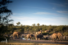 Elephants at waterhole, jamala madikwe