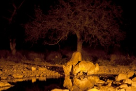 Lions at the Waterhole at Night, Andersson's Camp, Ongava, Namibia