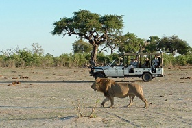 Savuti Safari Lodge game drive with lion