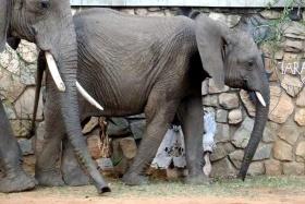Elephants at entrance, Tarangire Safari Lodge