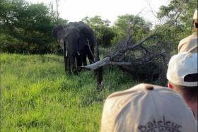 Elephant on bush walk, Bateleur Camp