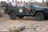 Lion on game drive, bateleur camp