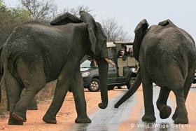 Shishangeni game drive with elephants