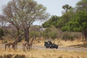 Giraffe at Katavi