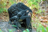 Kungwe chimps grooming