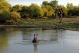 Hippo in waterhole at baobab ridge