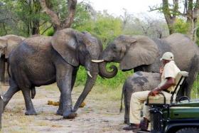 Elephants on Game Drive, elephant plains
