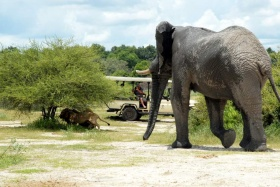 Lions disturbed by elephants, chiefs camp