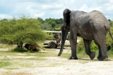 Lions disturbed by elephant on game drive, Chief's Camp