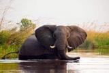 Kwando little kwara elephant