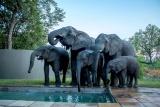 Elephants at pool