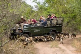 Little Bush Camp game drive with wild dog