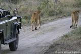 Open vehicle game drive, Nkorho