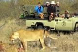 Mohlabetsi lion on kill