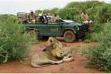 Lion encounter, open-vehicle safari, Impodimo Game Lodge