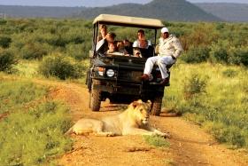 Lion on game drive, madikwe hills