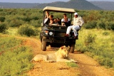 Lion on game drive, Madikwe Hills