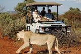 Lioness on safari, Madikwe River Lodge, Madikwe Game Reserve