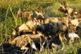 Wild dogs at DumaTau