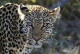 Leopard Umlani Bushcamp