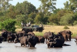 Umlani buffalo on gamedirve
