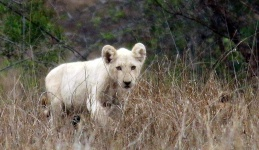 The New White Lions of Kruger