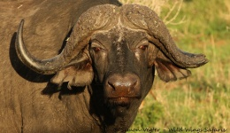 6 Reasons Buffalos May be the Snarkiest Beasts on the Planet