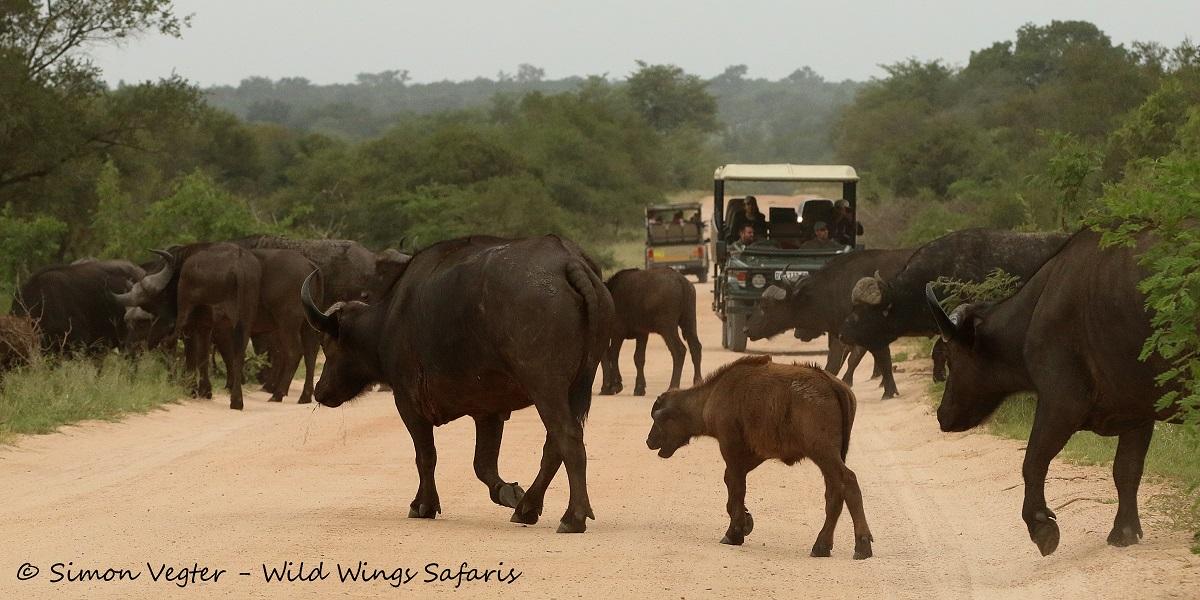 Buffalo crossing by