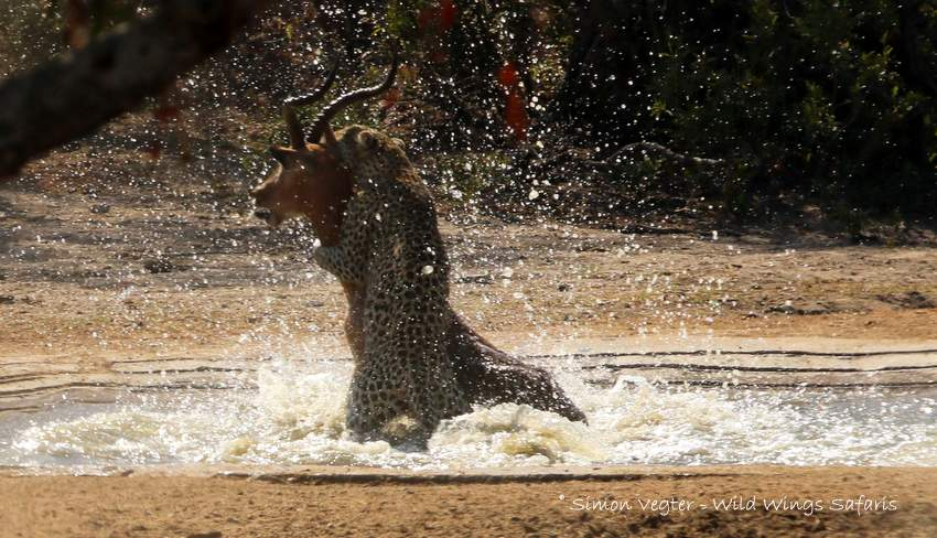 Leopard kills impala in waterhole by Simon Vegter