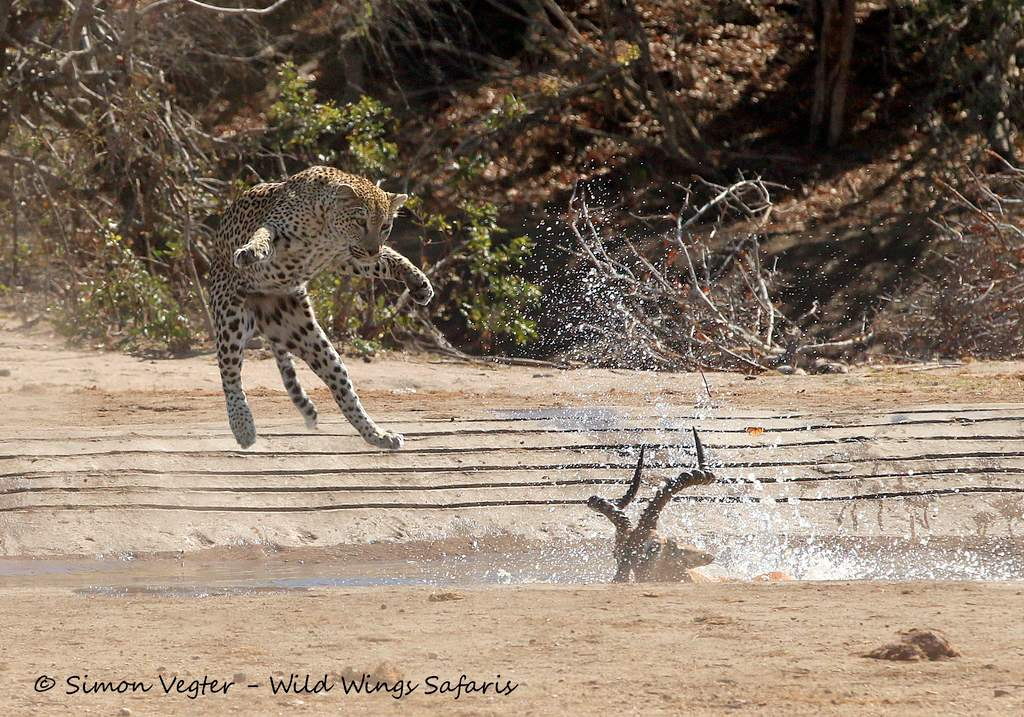 Leaping leopards by Simon Vegter