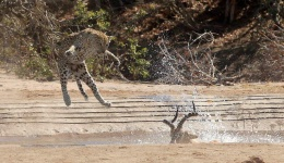 Kruger Leopard Perfects Waterhole Kills
