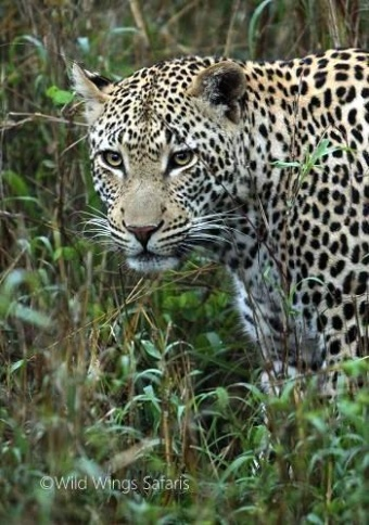 Magnificent leopard at Kruger National Park