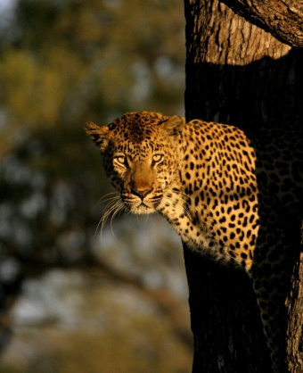 A leopard staring us down