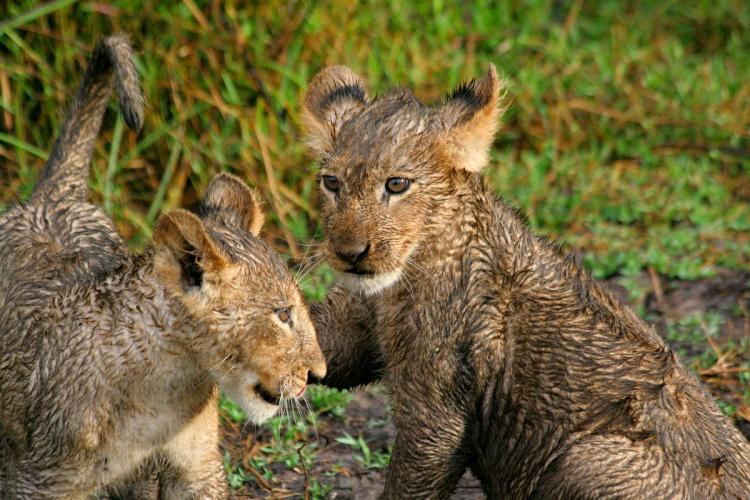 Lion cub cuteness