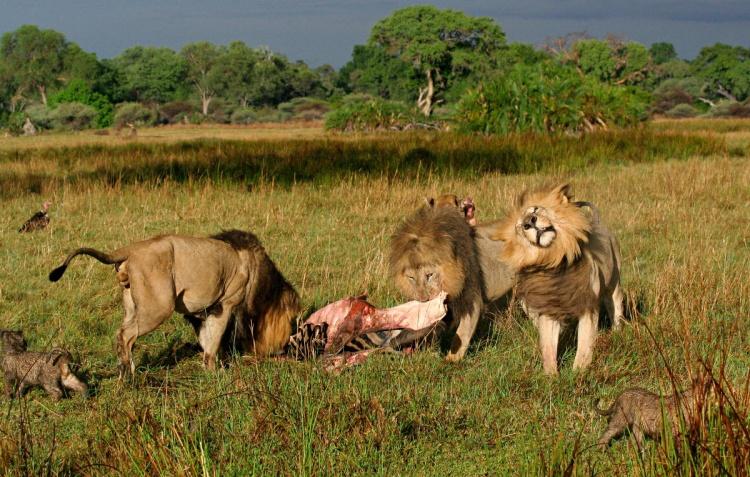 Male lion shaking its head