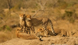 Best Places To See Rhinos, Leopards, Cheetahs or Wild Dogs