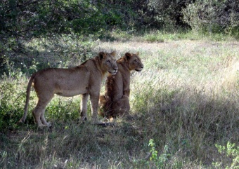 An adolescent lion and lioness