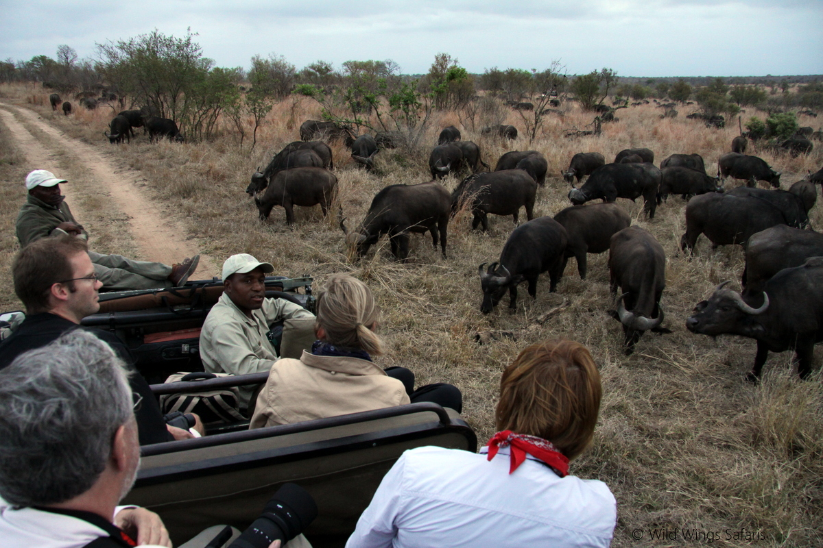 Buffalo herd by