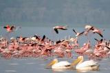Flamingos at Nakuru