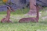 Male and female gerenuk