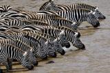 ZebrasMaasai Mara