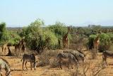Reserve samburu fauna