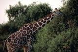 Reticulated giraffe in Samburu National Park