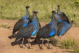Vulturine guineafowl samburu national reserve, kenya